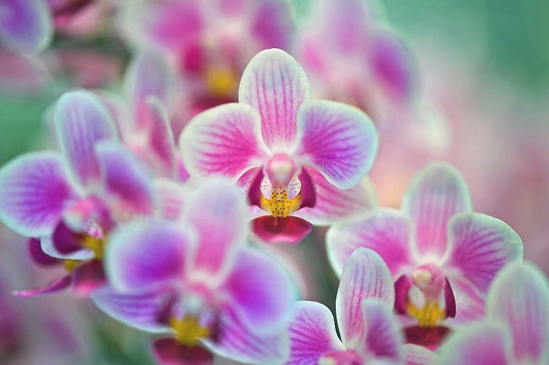 Les plus belles photos orchid es orchid es phalaenopsis for Le orchidee