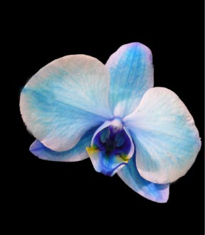 orchidee bleue signification